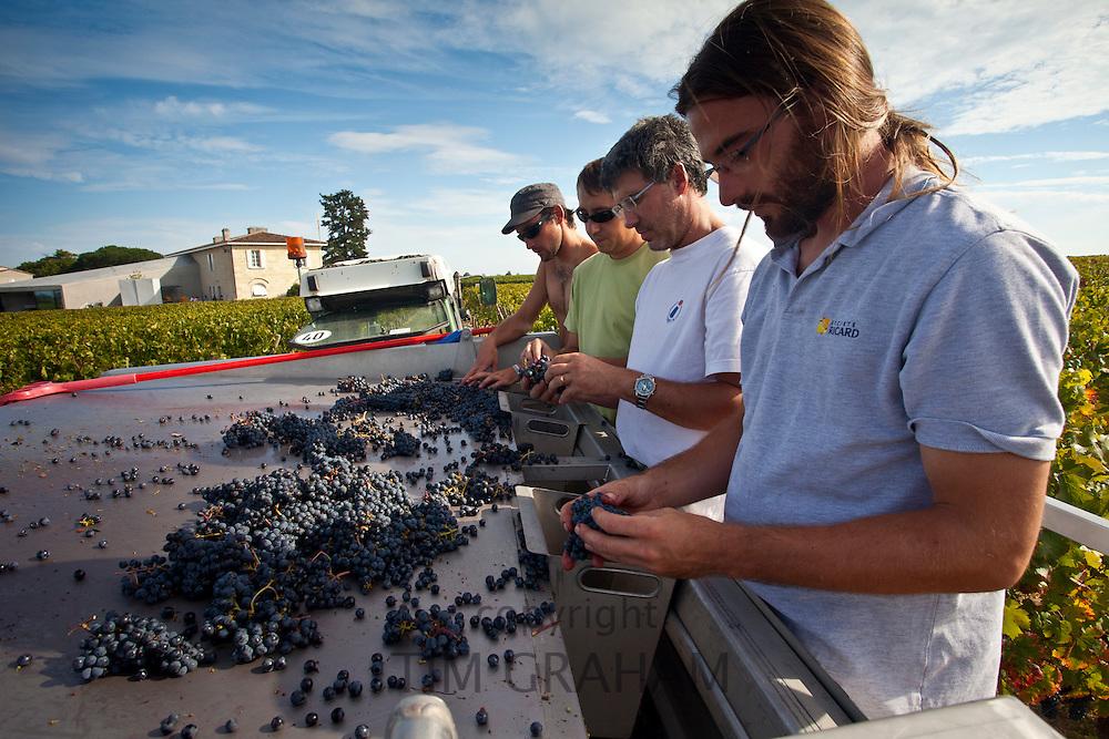 Wine harvest, vendange, Cabernet Franc grapes sorted by hand at Chateau Lafleur at Pomerol in Bordeaux region of France