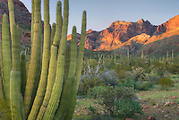 Organ Pipe Cactus.(Stenocereus thurberi), Organ Pipe Cactus National Monument Arizona