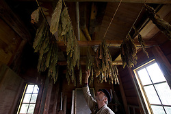 "Jaap Bes, is the head volunteer miller at the De Ster Snuff and Spice mill in Rotterdam, The Netherlands. Bes inspects tobacco leaves which have been hung to dry inside the mill. The dried leaves are then ""sauced"" or marinated in a secret recipe of sweeteners and natural aromatic oils, then allowed to cure for up to a year. Common ""flavors"" of nasal snuff include peppermint, menthol, anise, chocolate and coffee, as well as fruit and floral scents. Bes says ""the demand for snuff has increased,"" a fact he attributes to anti-smoking campaigns. (Photo © Jock Fistick)"