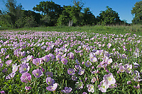 Pink Evening Primrose (Oenothera speciosa), DeWitt County, Texas