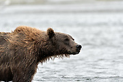 A brown bear sow known as Bearded Lady fishes for salmon at the McNeil River State Game Sanctuary on the Kenai Peninsula, Alaska. The remote site is accessed only with a special permit and is the world's largest seasonal population of brown bears in their natural environment.