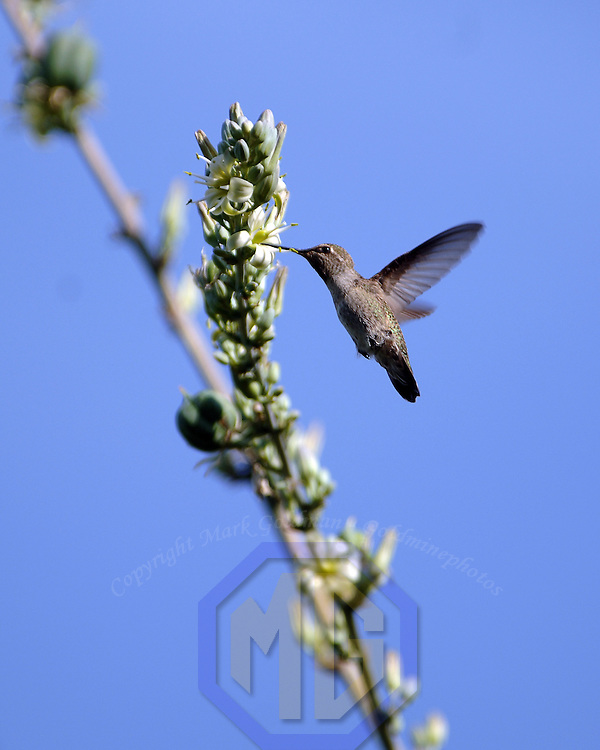 18 May 2005: A hummingbird feeds on a flower in the early morning in Phoenix, Arizona.