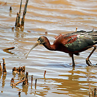 A Glossy Ibis, Plegadis falcinellus, searching for food in a saltmarsh. Edwin B. Forsythe National Wildlife Refuge, Oceanville, New Jersey, USA