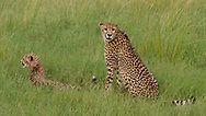 Cheetah female with cub, sitting watchfully in grassland, Phinda Game Reserve, South Africa, © 2019 David A. Ponton