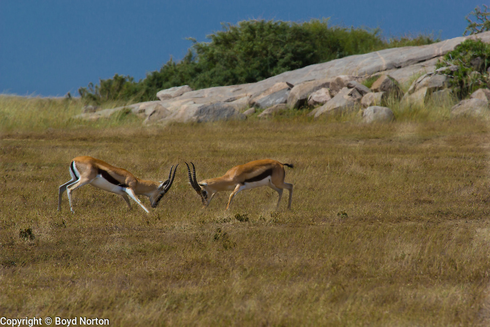 Two Thomson gazelles fight over territory and females, Serengeti National Park, Tanzania.