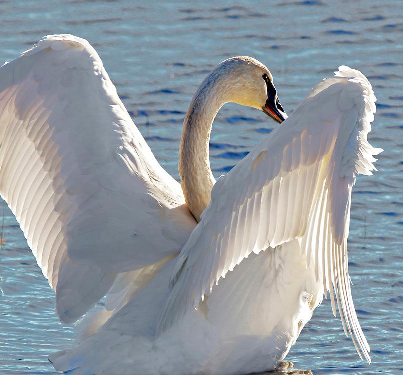 Alaska. Trumpeter Swan (Cygnus buccinator) wing detail while exercising.