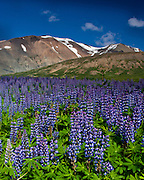 June is the time to watch the purple lupines in all of Iceland