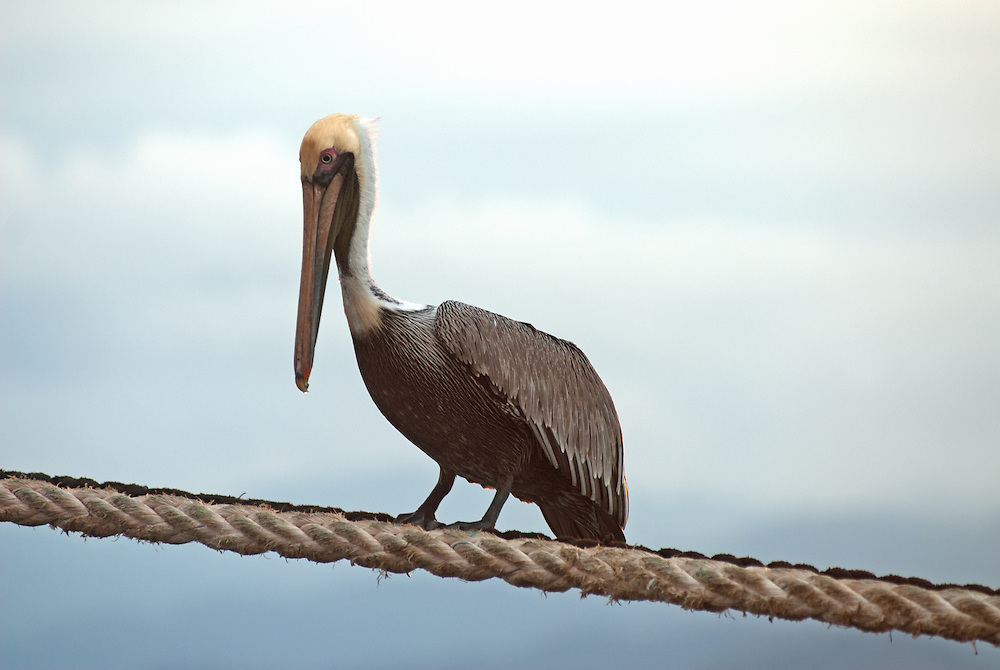 Brown pelican standing on a ship's mooring hauser. Brown pelican, Pelecanus occidentalis, standing on a mooring rope, against a blue background of sky and sea.