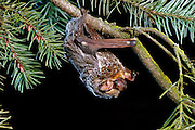 A hoary bat (Lasiurus cinereus) climbing through a douglas fir bough. The hoary bat will often day roost / night roost in the branches of trees in more exposed areas than is typical for most bats. © Michael Durham / www.DurmPhoto.com