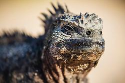 A close-up of an endemic marine iguana (Amblyrhynchus cristatus), Floreana Island, Galapagos Islands, Ecuador