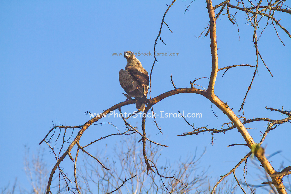 eagle on dry tree against blue sky Photographed in Serengeti National Park, Tanzania
