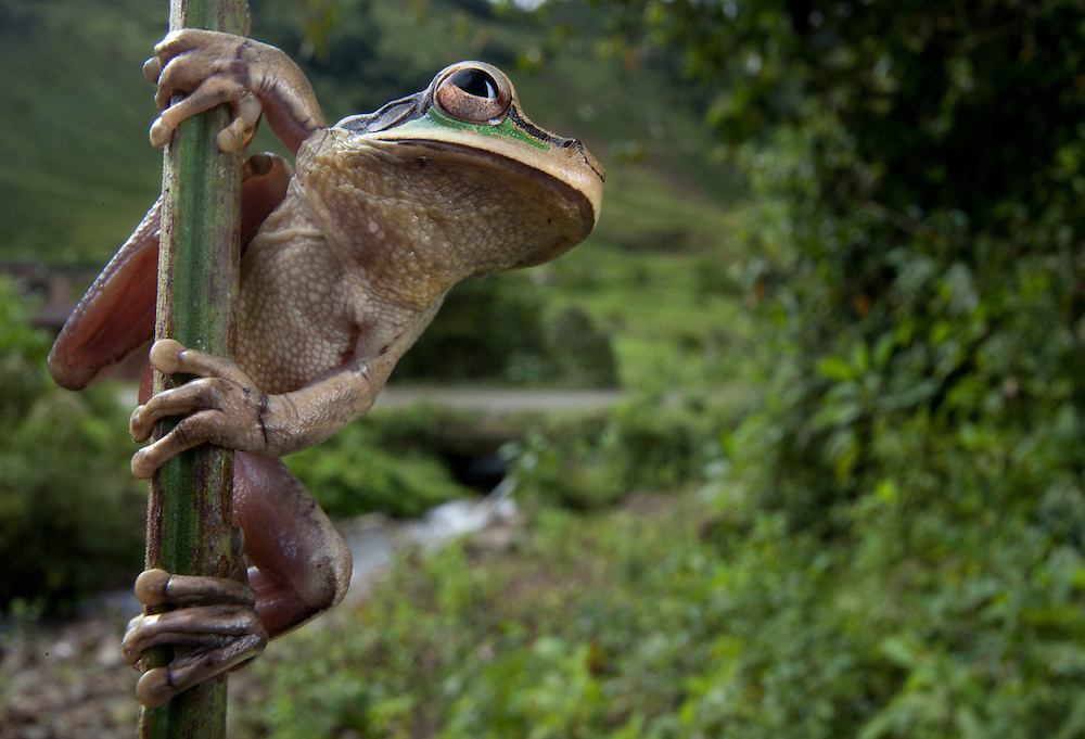 New Granada Cross-banded Treefrog, Smilisca phaeota from the Choco department of Colombia