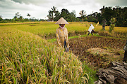 Apr. 22 - UBUD, BALI, INDONESIA:  Workers leave a rice paddy in Ubud, Bali.  Rice is an integral part of the Balinese culture. The rituals of the cycle of planting, maintaining, irrigating, and harvesting rice enrich the cultural life of Bali beyond a single staple can ever hope to do. Despite the importance of rice, Bali does not produce enough rice for its own needs and imports rice from nearby Thailand.   Photo by Jack Kurtz/ZUMA Press.