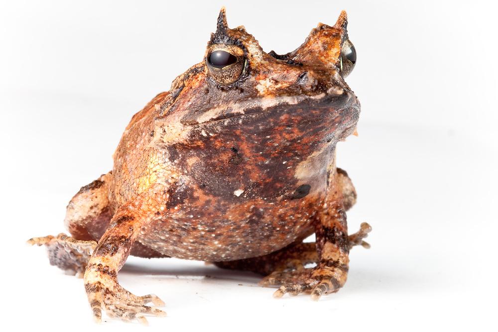 Eyelash frog, Ceratobatrachus guentheri, against a white background