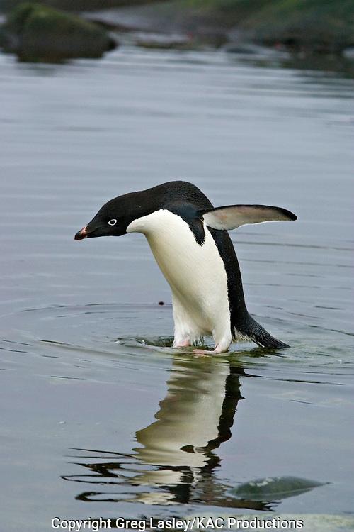 Adelie Penguin.Pygoscelis adeliae.Peterman Island, Antarctica.30 January 2003.