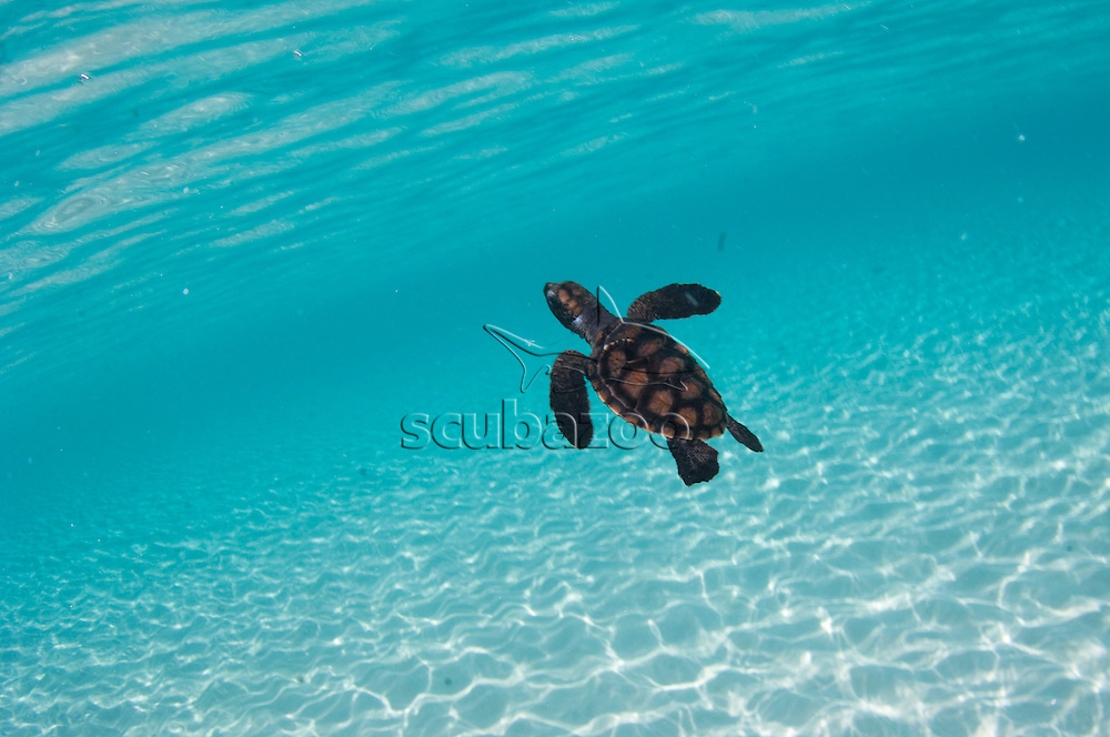 Juvenile Hawksbill Turtle, Eretmochelys Imbricata, First swim after being released, part of the breeding programme, North Male Atoll, Maldives.