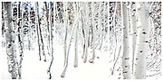 Triptych of Birch Trees in the snow