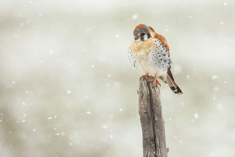 The American kestrel is the smallest falcon in North America.  A common sight in nothwest Wyoming, kestrels are often found atop fence posts where they scan surrounding meadow for prey.