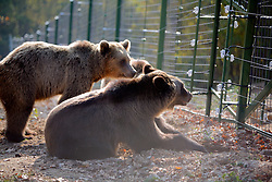 ROMANIA ZARNESTI 25OCT12 - Eurasian brown bears at the Zarnesti Bear Sanctuary in Romania, funded by WSPA.....With over 160 acres (70 hectares) spread over a wooded hillside, it is Romania's first bear sanctuary and today houses 67 bears rescued from ramshackle zoos and cages at roadside restaurants.....jre/Photo by Jiri Rezac / WSPA....© Jiri Rezac 2012