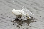 Snowy Egret splashing its head into the water in search of fish, Bolsa Chica
