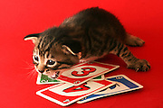one week old kitten on red background
