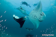 divers photograph manta rays, Manta alfredi (formerly Manta birostris ), in feeding aggregation, filter-feeding on plankton, in school of silversides, Hanifaru Bay, Hanifaru Lagoon, Baa Atoll, Maldives ( Indian Ocean )