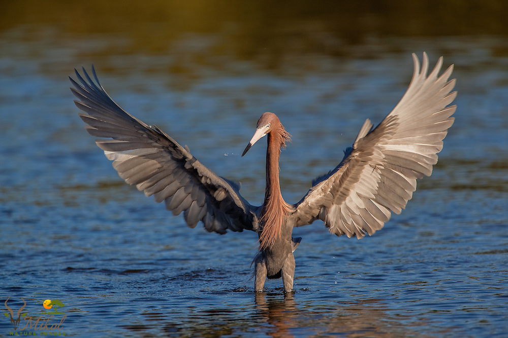 Reddish Egret Fishing with Spread wings