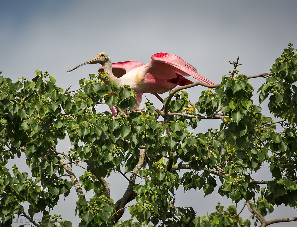 Roseate spoonbill 4gat bird rookery on Jefferson Island, Louisiana.