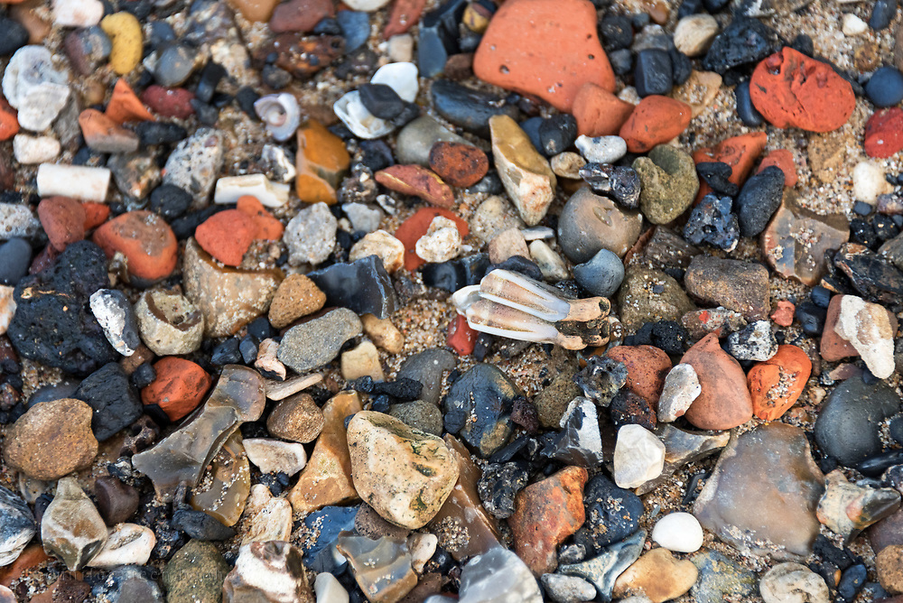 Large herbivore tooth washed up amid fragments of pipe stems, brick, coal, flint, and chalk on the Greenwich foreshore, London.