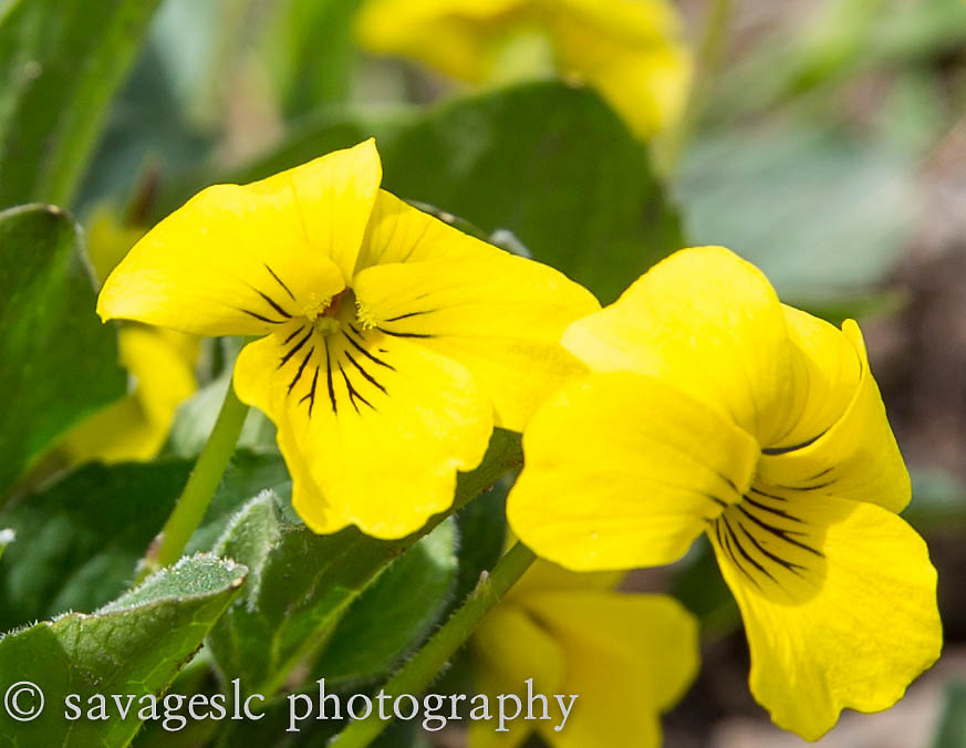 Yellow Violet. Yellowstone National Park<br /> May 2013