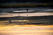 Canada geese on pond at sunrise. Near Browning, Montana.