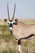 Gemsbok Antelope, Namuli, Etosha National Park, Namibia, Southern Africa. .Picture © Z&D Lightfoot. www.lightphoto.co.uk