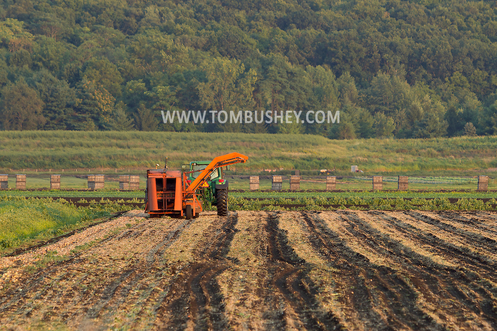 Pine Island, New York - Pictures from the Black Dirt farming area  on August 31, 2012.