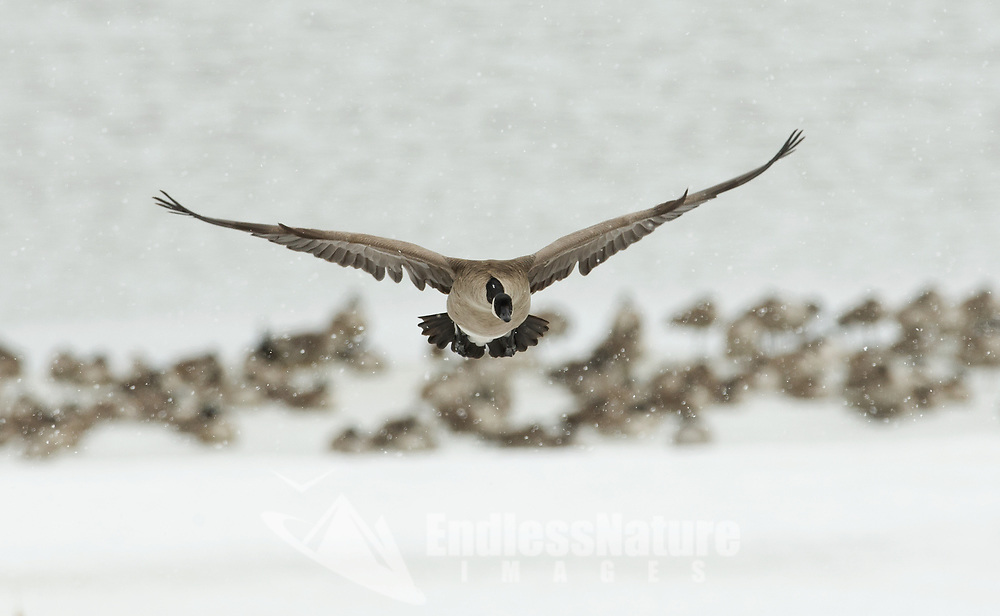 A Canadian goose in flight looking for relief from the storm searches out a place to land.
