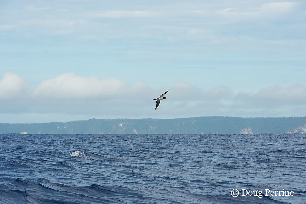 brown booby, Sula leucogaster, marks a school of fish, Vava'u, Kingdom of Tonga, South Pacific