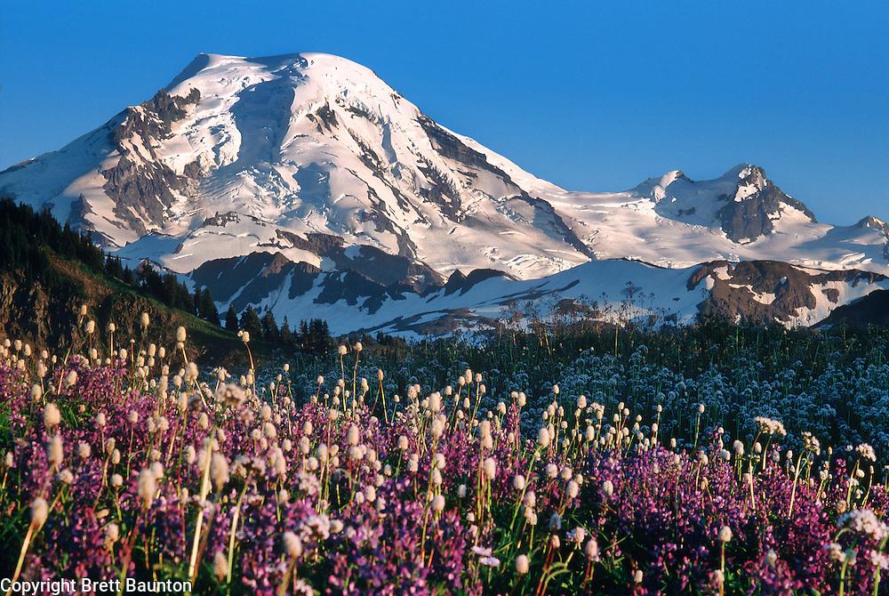 Mt. Baker, Skyline Divide Wildflowers, Lupine and Bistort, Washington State