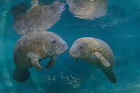 Florida manatee, Trichechus manatus latirostris, a subspecies of the West Indian manatee, endangered. Two male manatee calves cavort and socialize over Big Sister Spring. Young boys often play with each other while their mother manatees rest nearby. It seems the moms are happy their boys are occupied and practicing sirenian interaction skills. Mangrove snapper, Lutjanus griseus, also swim in the warm blue freshwater of this springhead that is part of Three Sisters Springs, Crystal River National Wildlife Refuge, Kings Bay, Crystal River, Citrus County, Florida USA.
