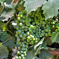 Grapes on Vine at Concha y Toro Vineyard in Pirque, Chile<br />