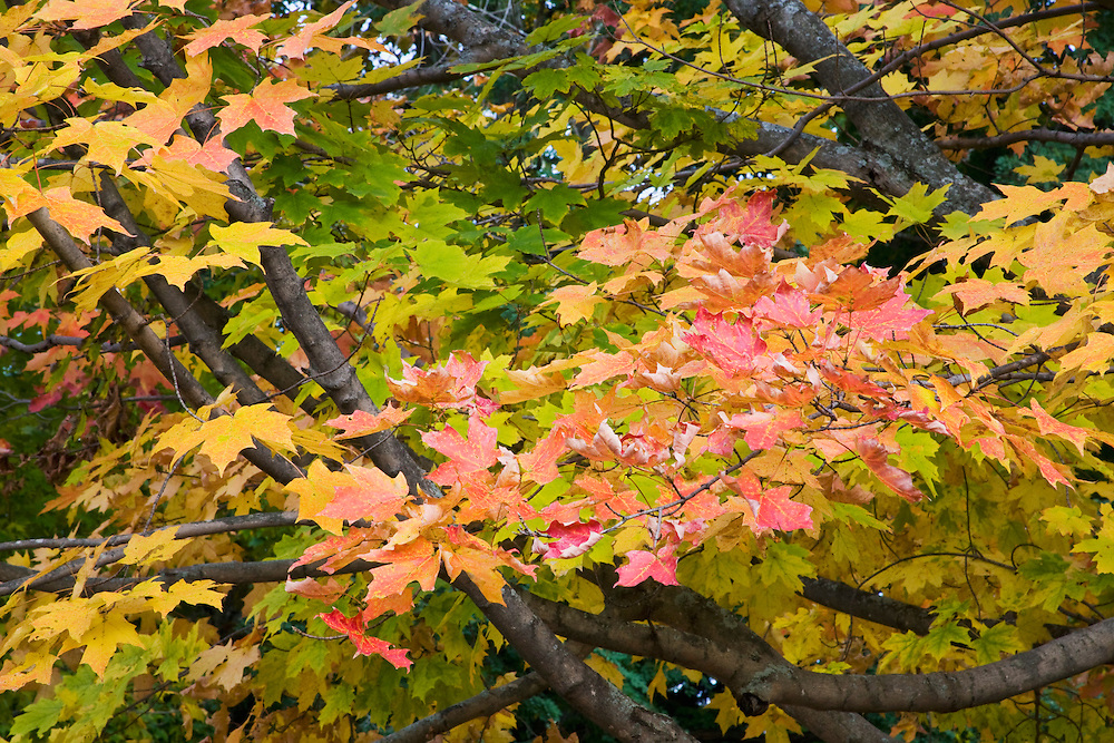 Red maple leaves on tree