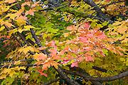 Red maple leaves on tree