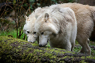 The wolf (Canis lupus), also known as the gray wolf, timber wolf western wolf, and its other subspecies is a canine native to the wilderness and remote areas of Eurasia and North America.