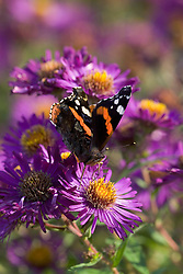 Butterfly on an aster
