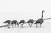 The Search Party. Some geese foraging the sands for more food.