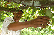 Isla Grande de Rio Rosario.<br />Farmer Hilario Mosquera, showing a cocoa pod grown as part of an alternative development program for former coca farmers. This agro-forestry program, has farmers plant cocoa instead of coca, and harvest wood in a sustainable way. The women of the village are taught to make jewelery and household utensils out of coconut shells to be sold at craft shops and fairs. This project is USAID funded and implemented by the UN and FAO (Food and Agriculture Organization). This area is under the control of leftist guerillas (FARC).