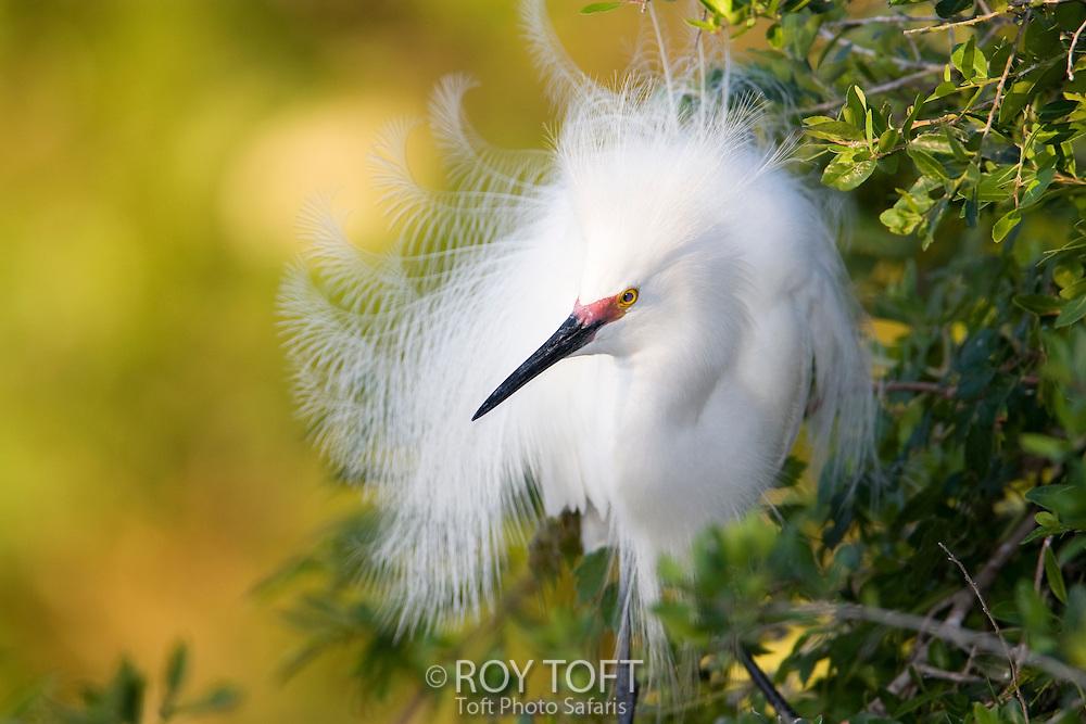 Snowy egret breeding plumage.