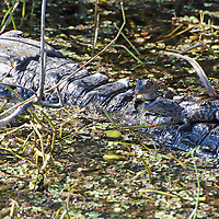A pair of baby alligators rest on their mother's back in the Florida Everglades.