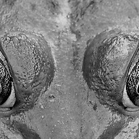 An extreme black and white close-up of the eyes of an American bullfrog (Rana catesbeiana)sitting in a freshwater marsh, Huntley Meadows Park, Alexandria, Virginia.