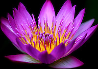 Close up, full frame picture of a purple water lily.