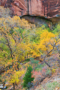 Fall color below the Weeping Wall, Zion National Park, Utah