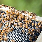 Alex Jaregui-Farmer Veteran Coalition Beekeeper